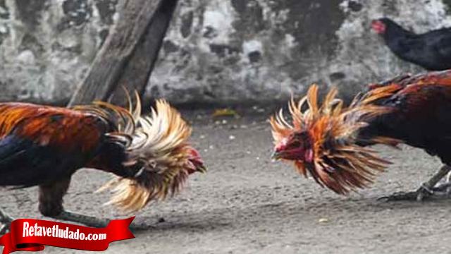 Julukan Bongkar Adalah Trik Dari Ayam Bangkok