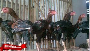 Ketahui Cara Ternak Ayam Tarung Yang Benar