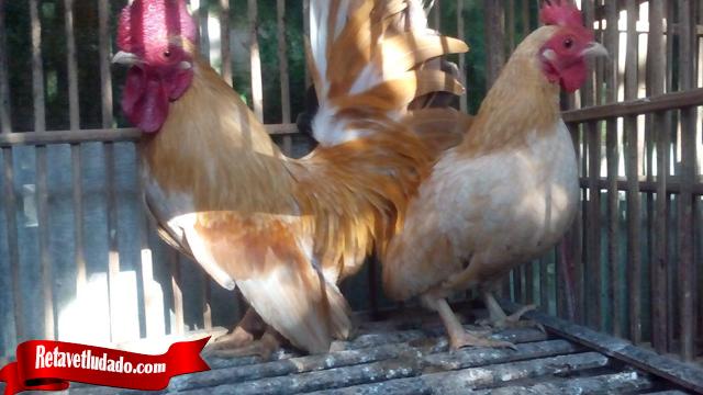 Ketahui Fakta Penting Tentang Ayam