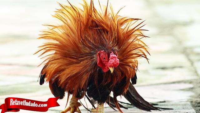 Ketahui Sifat Ayam Sebelum Duel