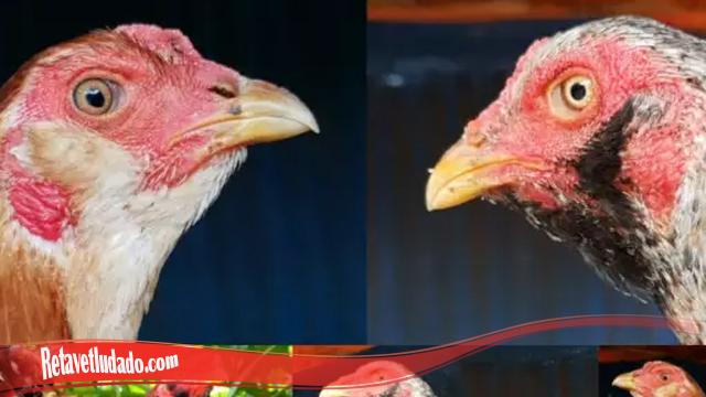 Ayam Langka Ayam Brewok S128