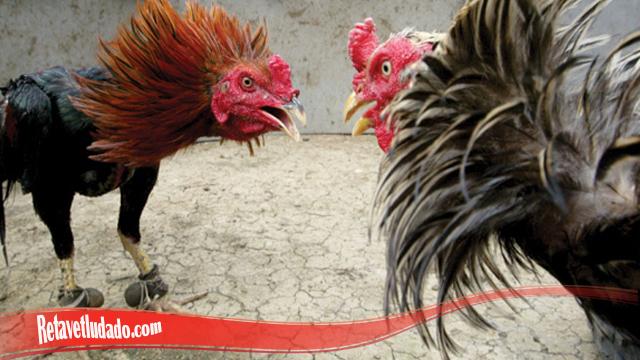 Mental Ayam S128 Jadi Semakin Meningkat