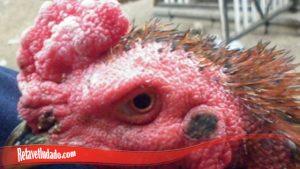 Obat Sakti Untuk Mata Ayam S128 Yang Terluka