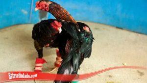 Pola Melatih Ayam SV388 Agar Miliki Otot Kaki Yang Kuat