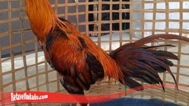 Bulu Kilat Dan Lebat Pada Ayam Tarung SV388